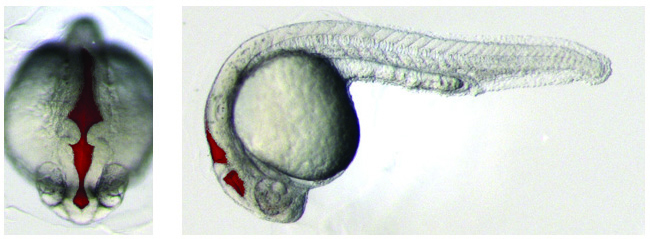 One day old zebrafish embryo